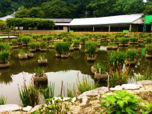 Pond at the Shrine
